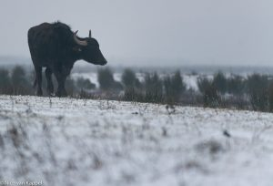 Waterbuffel in de winter. - Fotograaf: Nico van Kappel