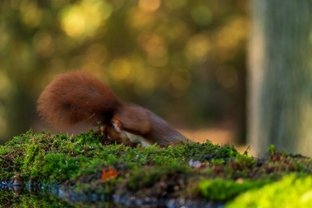 Best lastig een foto van een springende en vliegensvlugge eekhoorn te maken als je ongeoefend en onervaren bent.