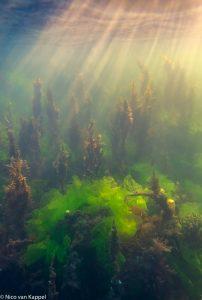 2.Wierlandschap in het Grevelingenmeer, opname met behulp van een DSLR in een onderwaterzak. - Fotograaf: Nico van Kappel