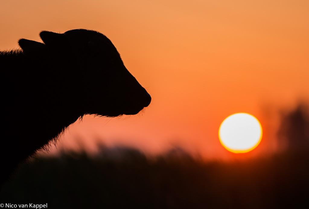 De waterbuffel, een nieuwe grote grazer