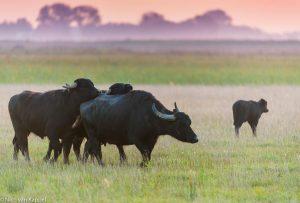 Kudde waterbuffels trekt door het leefgebied. - Fotograaf: Nico van Kappel