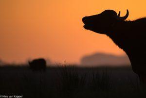 Een roepende waterbuffel. - Fotograaf: Nico van Kappel