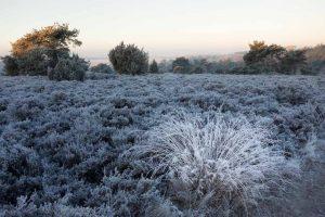 Een pol pijpenstrootje is een decoratief element in het winterlandschap. - Fotograaf: Ron Poot