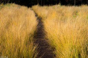 Kleurcontrasten: een heidepaadje door een veld pijpenstrootje. - Fotograaf: Ron Poot