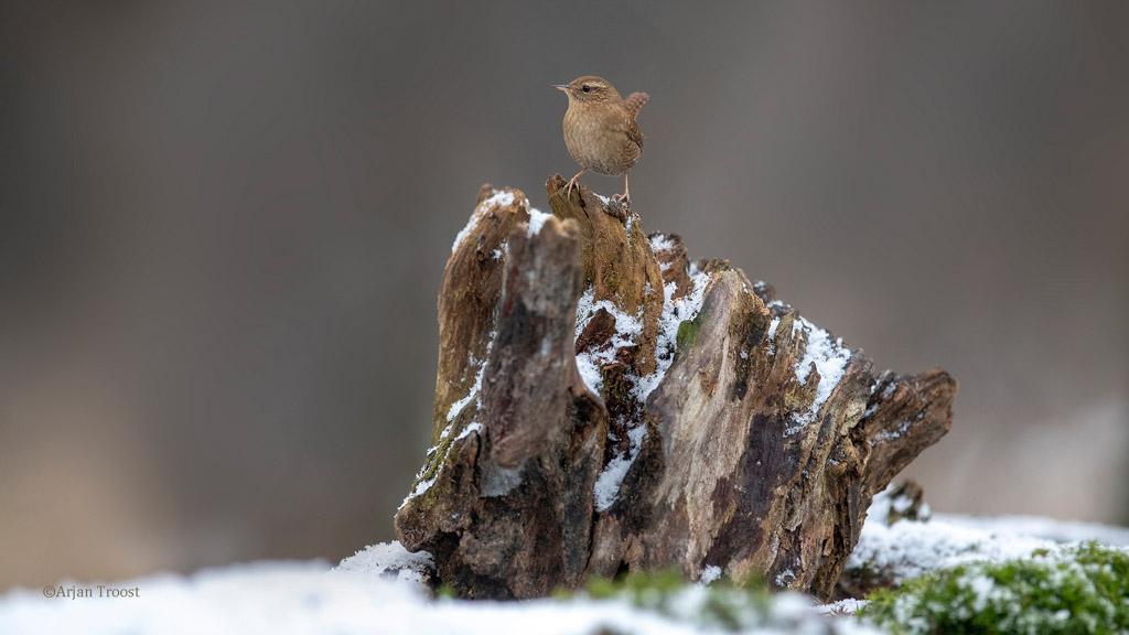 De winterkoning, een druk baasje