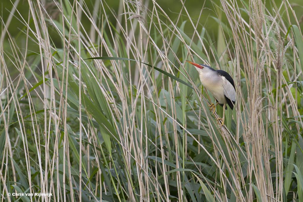 Registratie van de vogelsoort in zijn leefomgeving: woudaap.