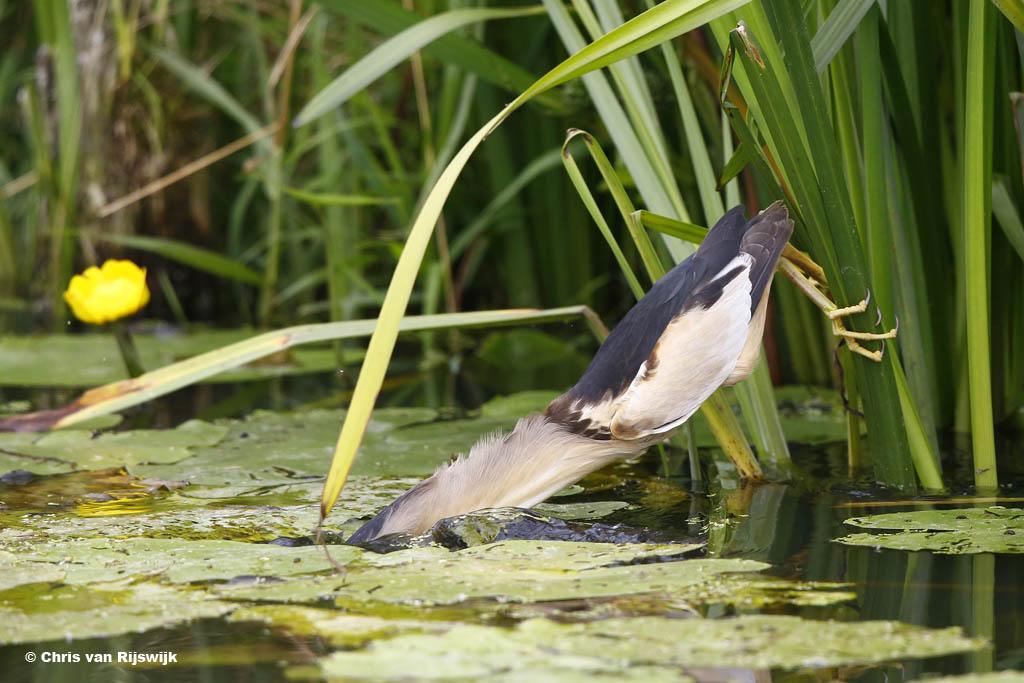 Registratie van de vogelsoort in actie: woudaap.