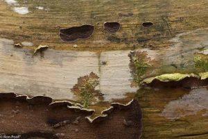 Op een dode stam kun je wonderlijke structuren van schimmels aantreffen. - Fotograaf: Ron Poot