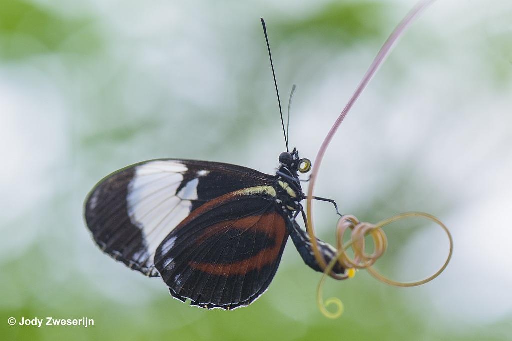 Vlinder in Orchideënhoeve Luttelgeest