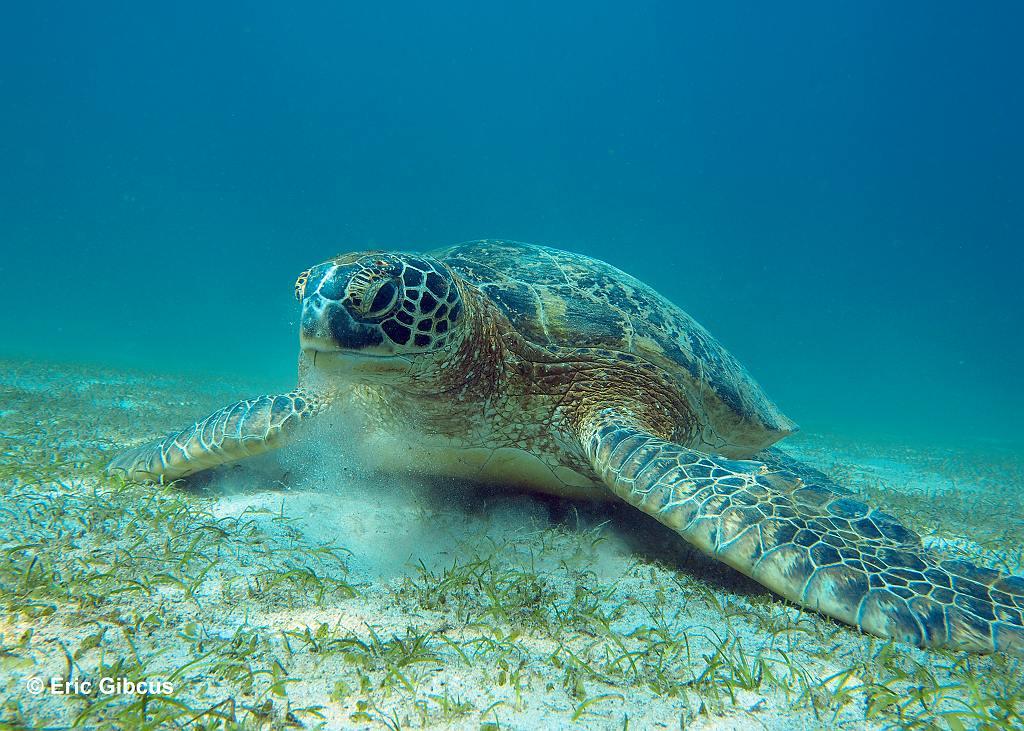 Hugo de groene zeeschildpad