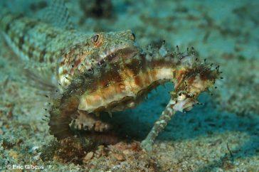 hagedis vis Synodontidae sp.