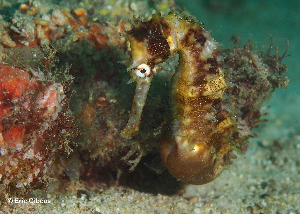 stekel zeepaardje Hippocampus histrix