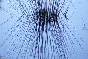 Abstract beeld van spiegelende grassprieten in water. - Fotograaf: Ron Poot
