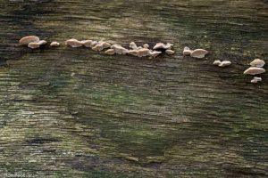 De zwammetjes volgen de houtnerf in het dode hout. - Fotograaf: Ron Poot