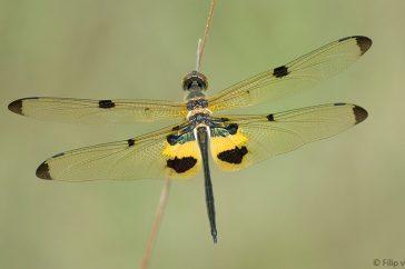 vlinderlibellen