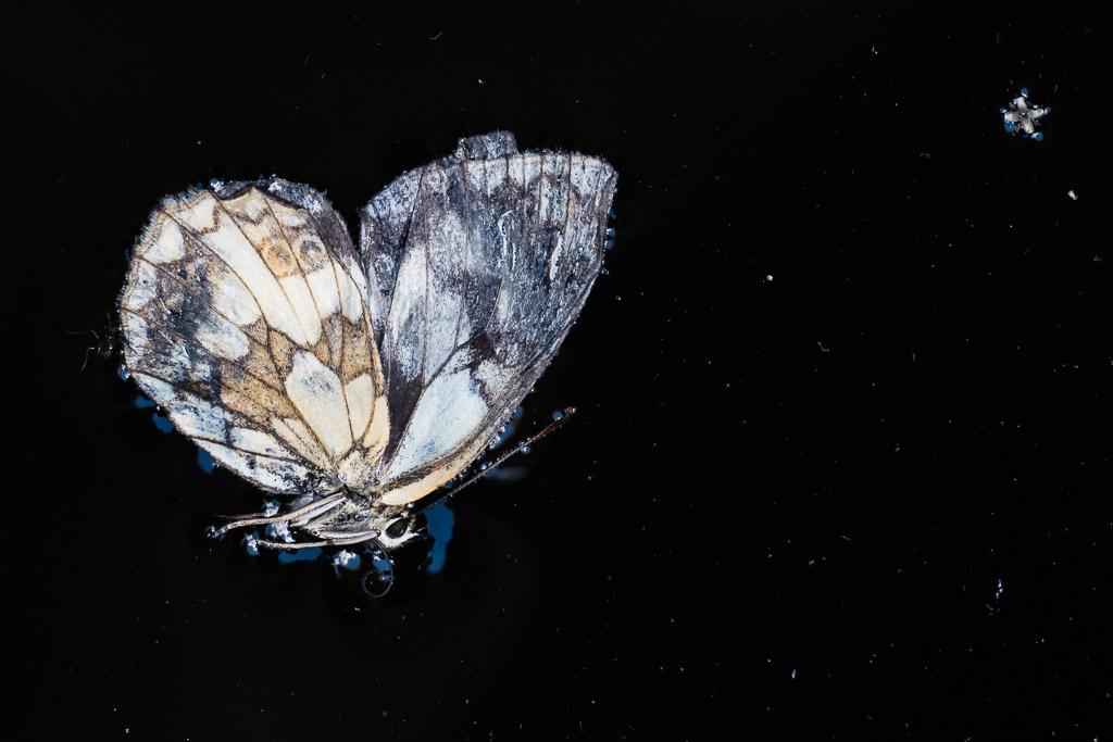 Verdronken vlinder.