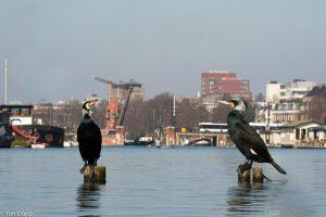 Aalscholvers ontwikkelen zich steeds meer als stadsvogel. - Fotograaf: Ton Döpp