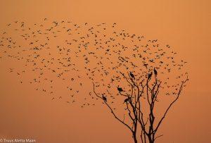 Aalscholvers met op de achtergrond een zwerm vogels.  - Fotograaf: Truus Aletta Maan