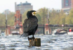 Aalscholvers kiezen graag een paaltje als uitkijkpost.  - Fotograaf: Ton Döpp