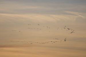 Een vlucht ganzen tegen de zachte kleuren van de ochtendlucht. - Fotograaf: Ron Poot