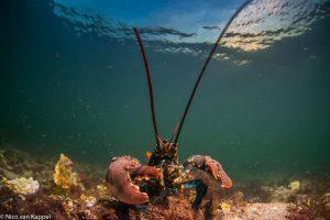 Europese zeekreeften verlaten in de nacht hun hol om op zoek te gaan naar eten. - Fotograaf: Nico van Kappel
