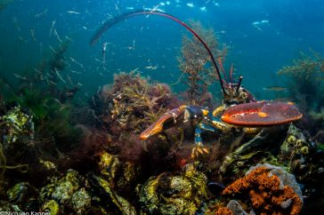 Europese zeekreeft; European lobster; Homarus gammarus;