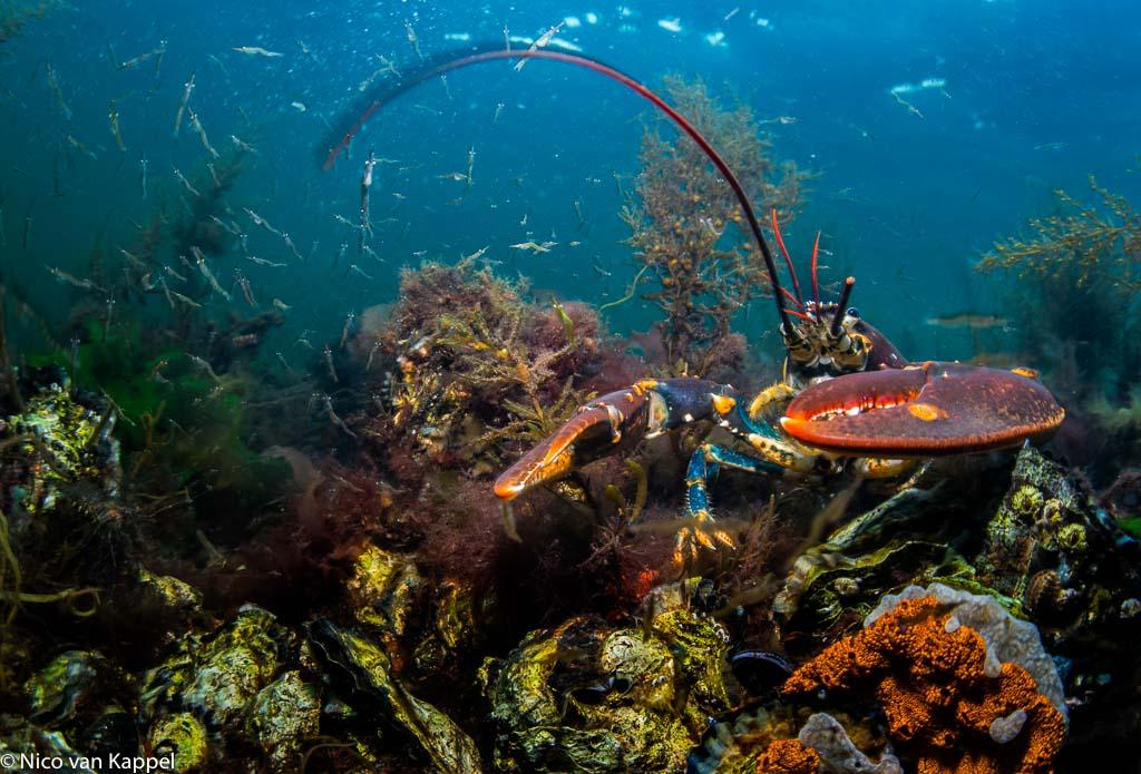 De Europese zeekreeft, een duik waard