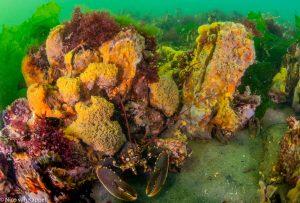 Onderwaterlandschap in de Oosterschelde met oesters sponzen en een kreeft. - Fotograaf: Nico van Kappel