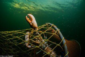Europese zeekreeft gevangen in een fuik. - Fotograaf: Nico van Kappel