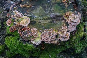 Elfenbankjes groeien op dode stronken en zijn rijk aan kleurschakeringen. - Fotograaf: Ron Poot