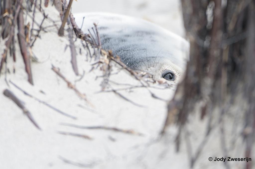 Grijze zeehond