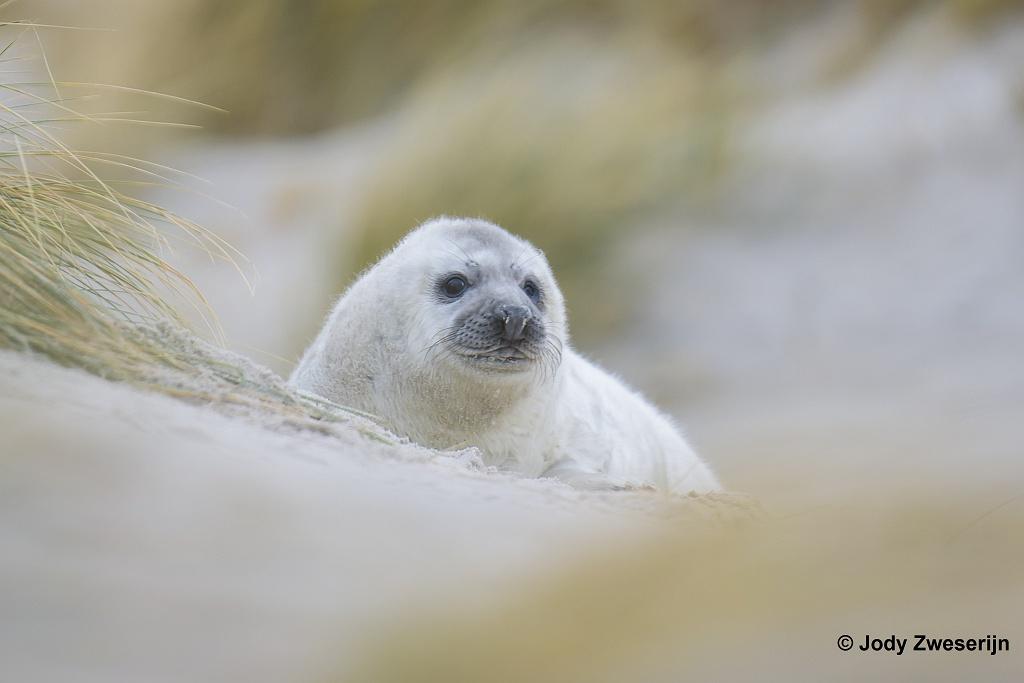 Pup van grijze zeehond