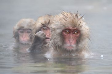 Badderende Snow monkeys