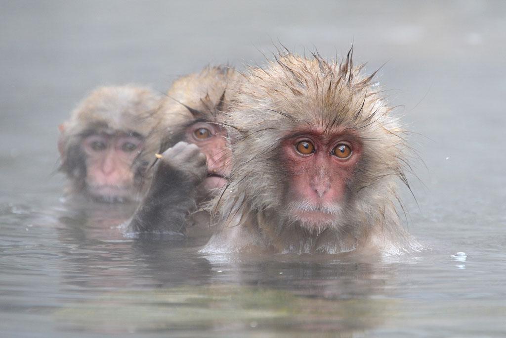 Badderende Snow monkeys