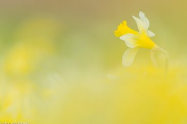 wilde narcis; wild daffodil; narcissus pseudonarcissus