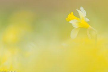 wilde narcis; wild daffodil; narcissus pseudonarcissus