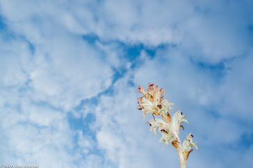 Walstrobremraap; Clove-scented Broomrape; Orobanche caryophyllacea;