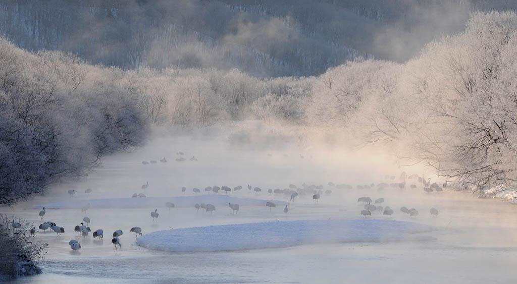 Japanse kraanvogels in rivierbedding, Hokkaido