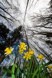 Wilde narcissen in voorjaarsbos. - Fotograaf: Nico van Kappel