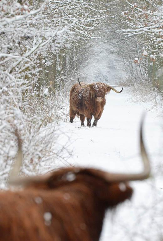 Schotse hooglanders in het Witteveen bij Buurse.