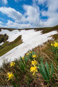 Wilde narcissen in de bergen met sneeuwresten, Vogezen.  - Fotograaf: Nico van Kappel