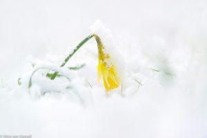 Wilde narcis in sneeuw. - Fotograaf: Nico van Kappel
