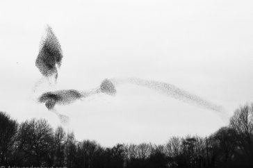spreeuwenwolk