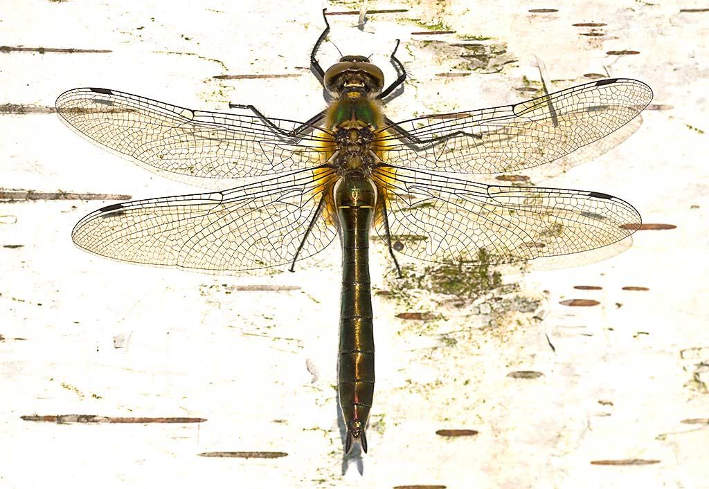 Smaragdlibel, een juweel onder de libellen
