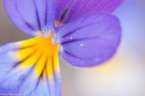 Detail van de bloem met tussenringen genomen. - Fotograaf: Nico van Kappel