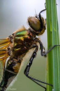 Het glimmende groen en het donzen vachtje zijn typische kenmerken voor de Smaragdlibel. - Fotograaf: Chris Ruijter