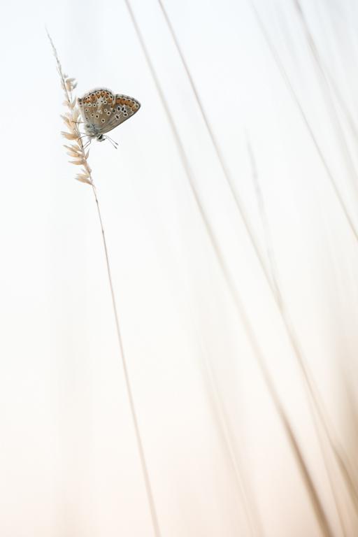 Bruin Heideblauwtje