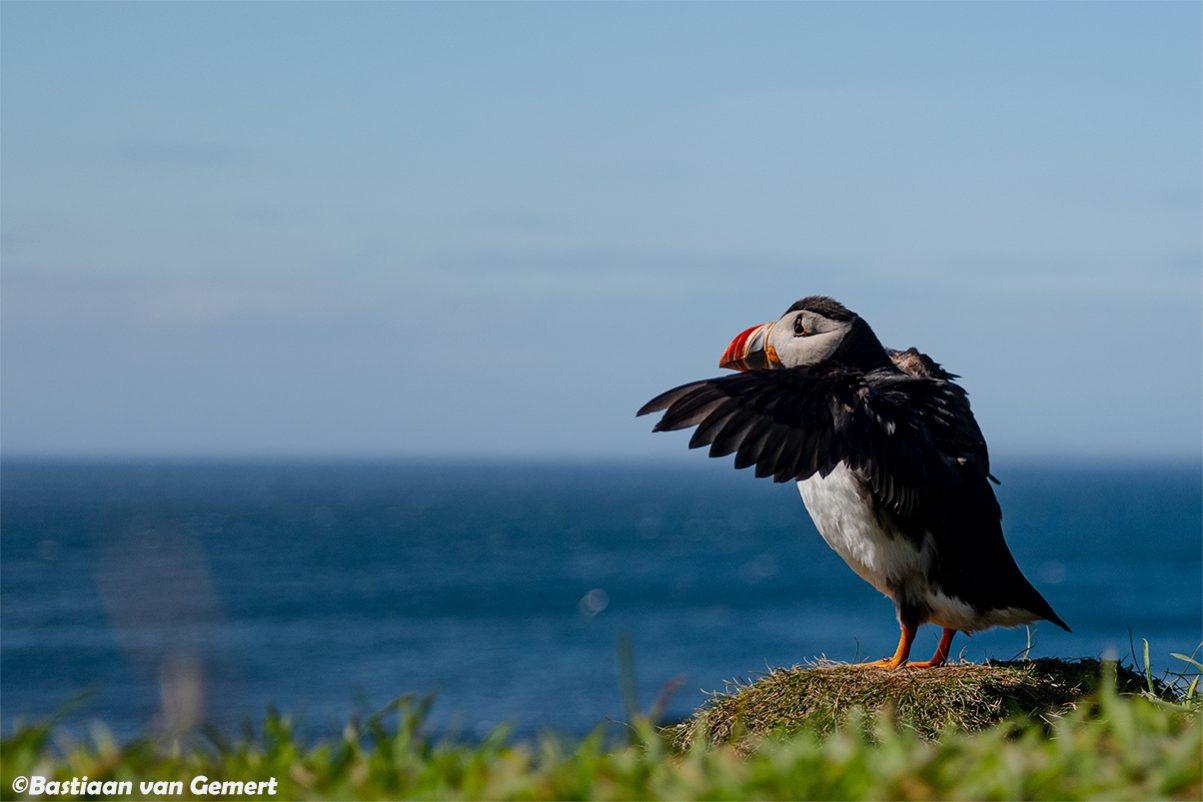 Papegaaiduiker, de clown van de zeevogels