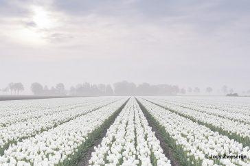 Tulpenveld in de mist