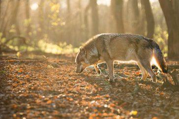 Wolf Wildpark